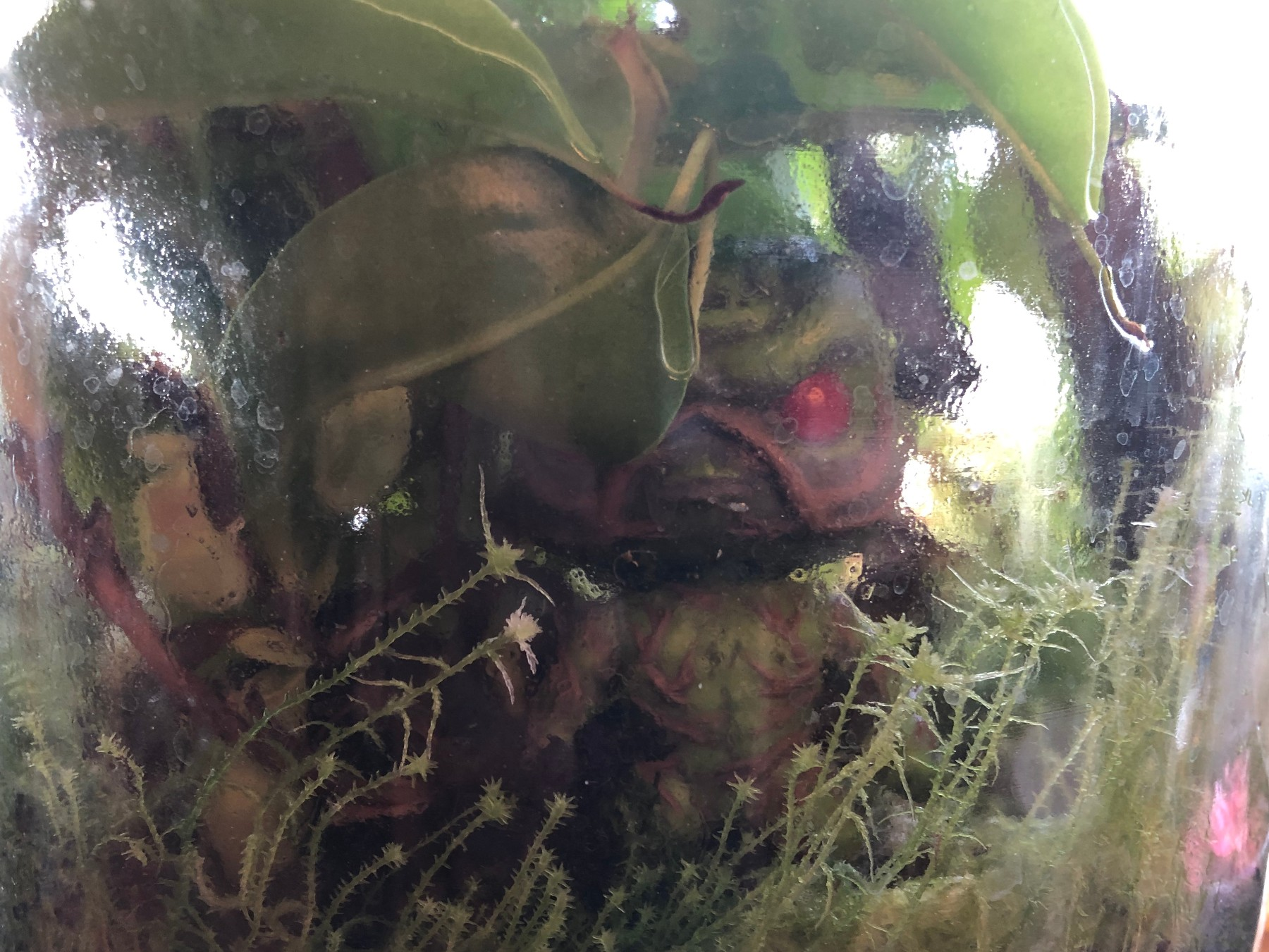 Swamp Thing in Pitcher Plant – Edited